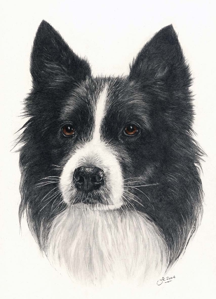 Dog - BORDER COLLIE HEAD