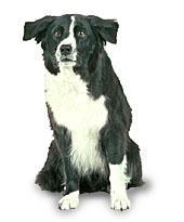 Dog - Border Collie