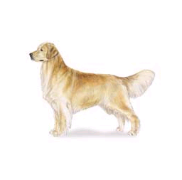 Dog – Gundog retreiver