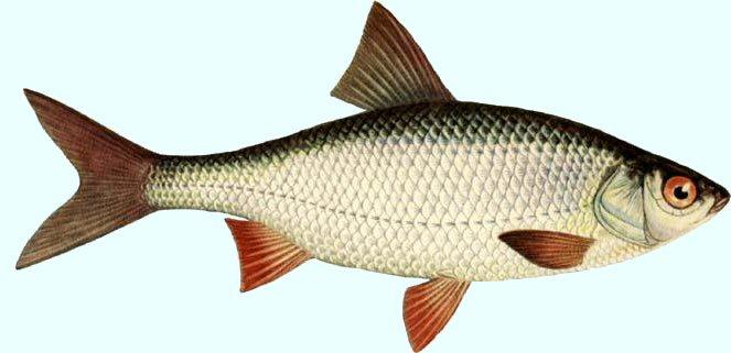 fishing - Roach_lg