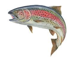 fishing - rainbow trout